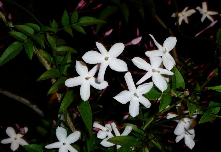 2015-01-night-flowering-jasmine