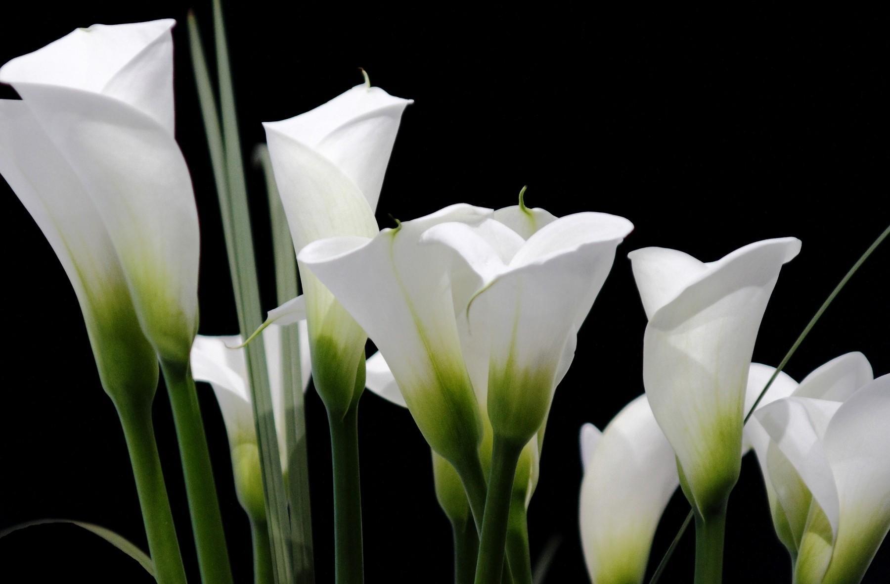 calla_lilies_white_black_background_62230_1800x1180