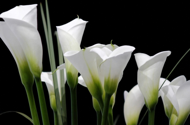 calla_lilies_white_black_background_62230_1800x1180