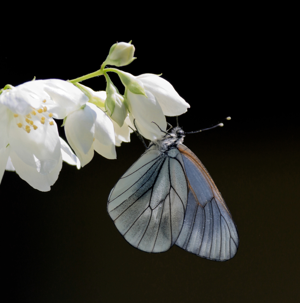 Jasmine-and-Butterfly