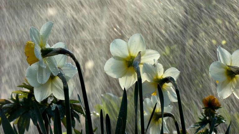 rain_showers_daffodils_flowers_nature_hd-wallpaper-1848762