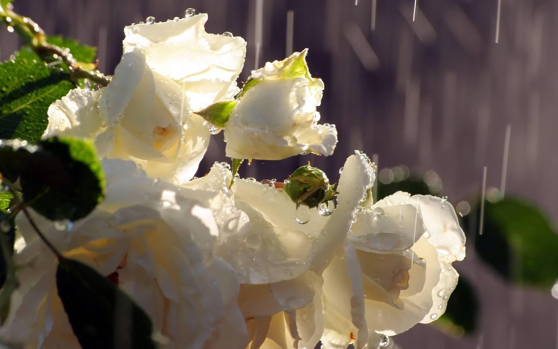 Rain_white_roses