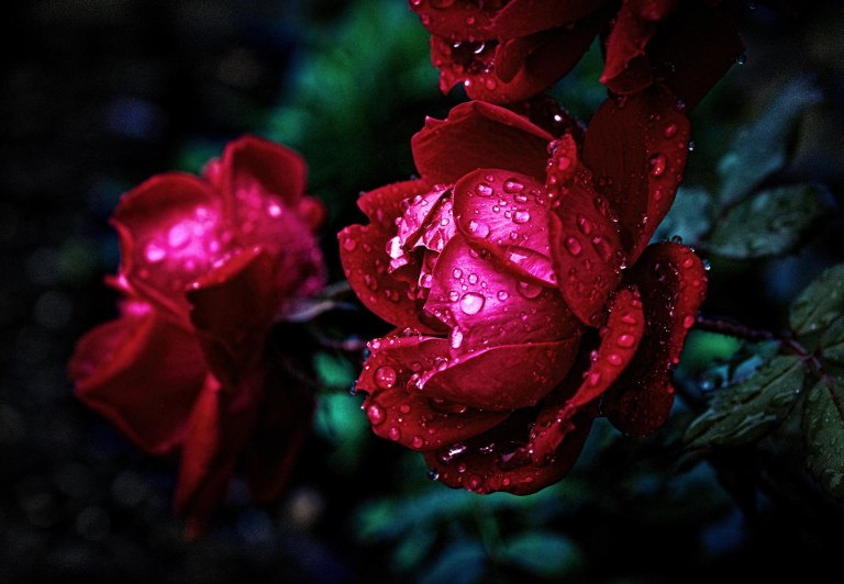 water-drops-rose-red