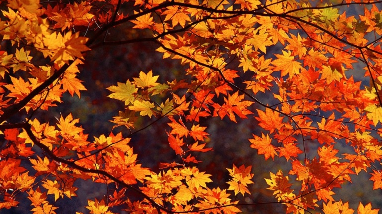 223079-autumn-leaves-japan