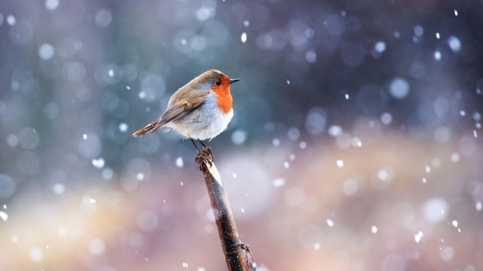 crow in snow wallpapers hd - photo #11
